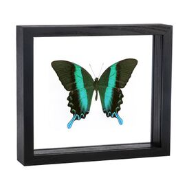 Papilio Blumei Framed Wall Art