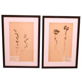 2 Piece Vintage Swedish Herbarium Entry XXIX