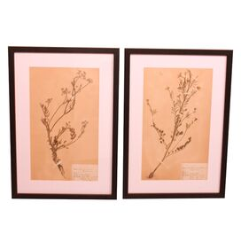 2 Piece Vintage Swedish Herbarium Entry