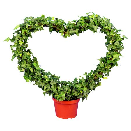 Schubert Nursery Ivy Heart