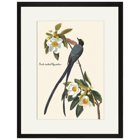 Fork-Tailed Flycatcher Framed Print by John Audubon