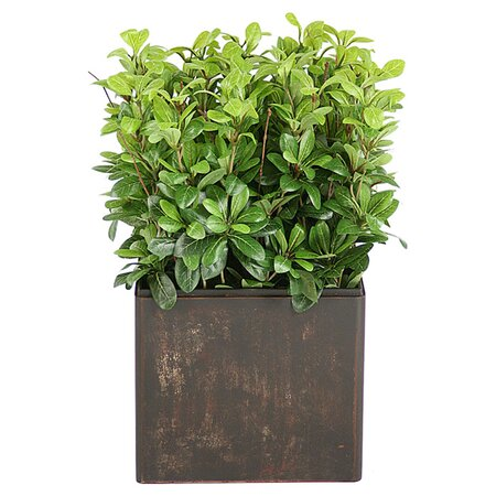 Silk Pittosporum Plant